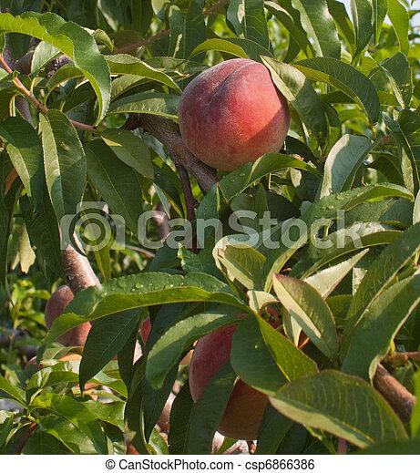 Ripe Peaches - csp6866386