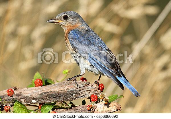Eastern Bluebird - csp6866692