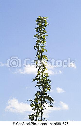 hoog, groene, stengel, van, gras, tegen, blauwe, Hemel - csp6881578