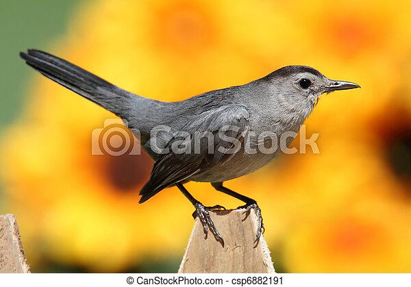 Gray Catbird (Dumetella carolinensis) - csp6882191