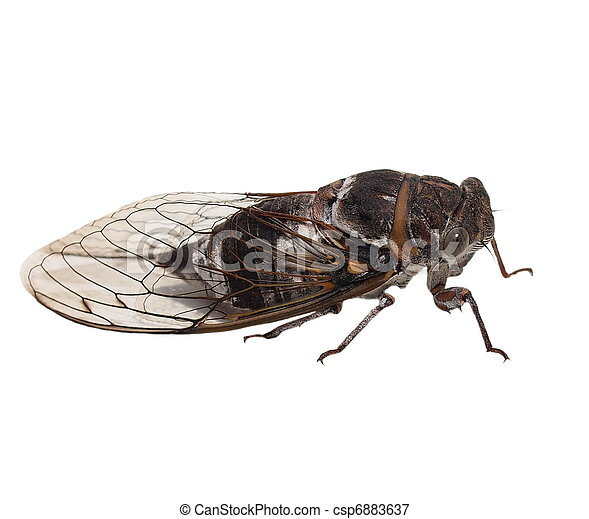 cicada insect isolated on white - csp6883637