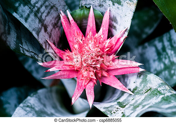 Aechmea fasciata bromeliad flower - csp6885055