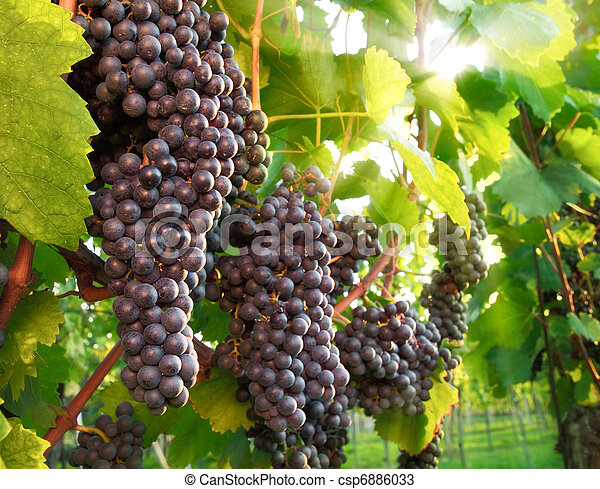 Ripe red grapes in a vineyard - csp6886033