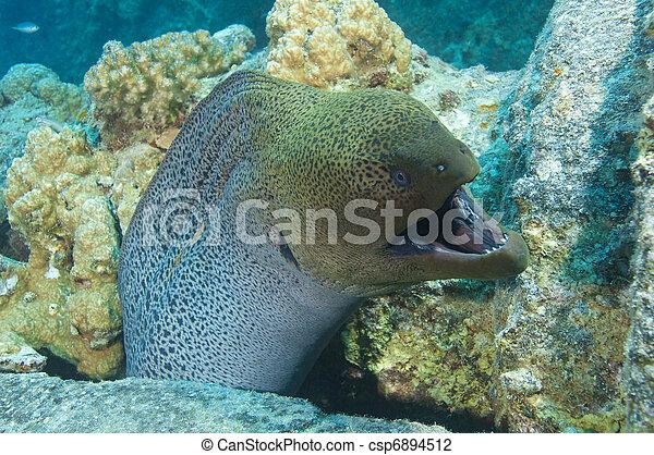 Giant moray eel showing defensive behaviour - csp6894512