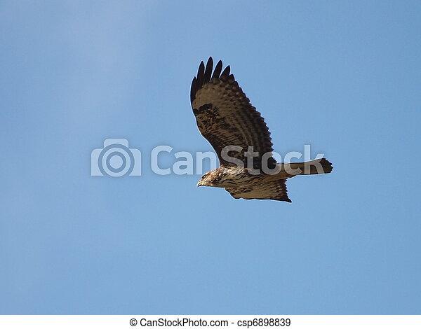 Common Buzzard in flight - csp6898839