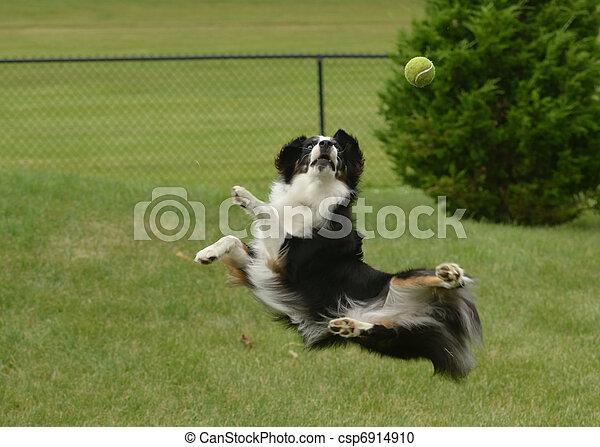 Australian Shepherd (Aussie) Dog Catching a Ball - csp6914910