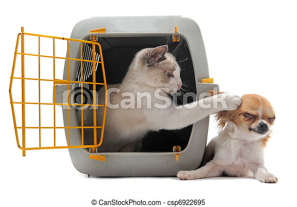 kitten in pet carrier and chihuahua - csp6922695
