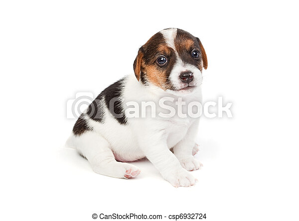 Jack Russell terrier puppy - csp6932724