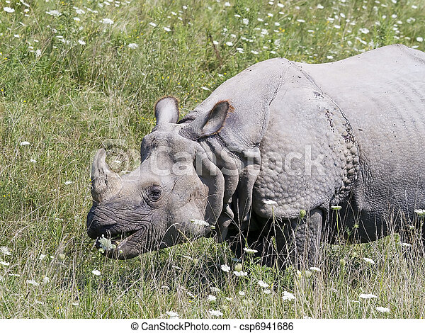 Greater One-horned Asian Rhino - csp6941686