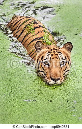 Tiger bath - csp6942851