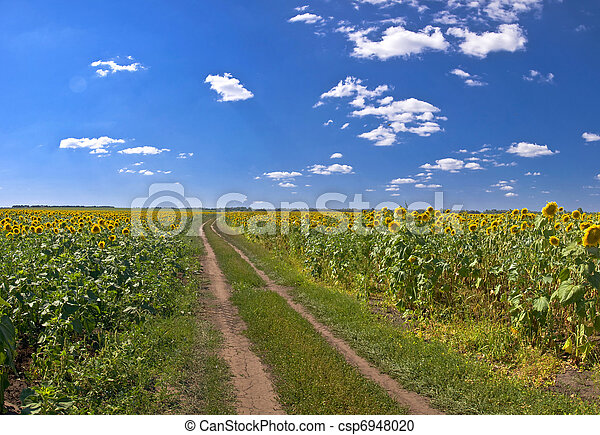 Country road in a field of sunflowers. Summer Landscape - csp6948020