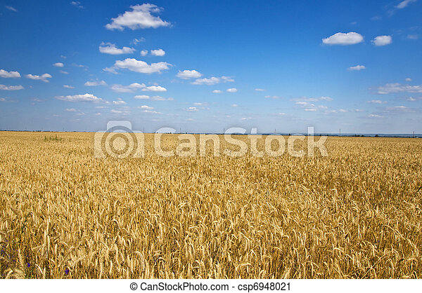 Field of rye in the blue sky. Summer landscape. Country Life - csp6948021
