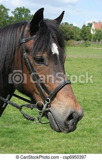 Welsh Cob Portrait - csp6950397