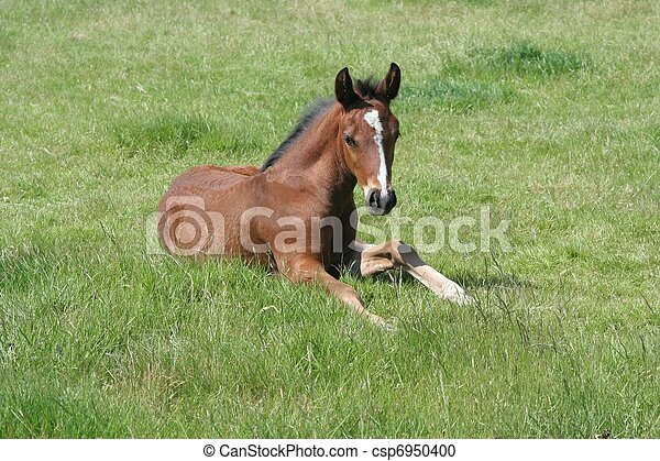 Thoroughbred Foal - csp6950400