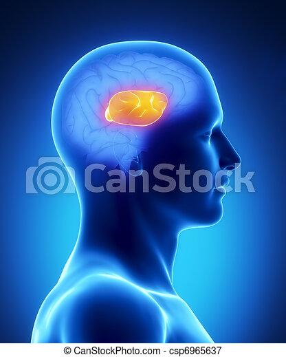 Corpus callosum - human brain part - csp6965637