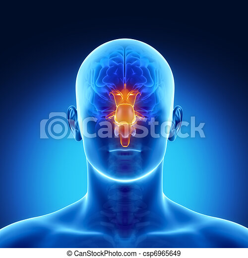 STEM in male  brain part anatomy - csp6965649
