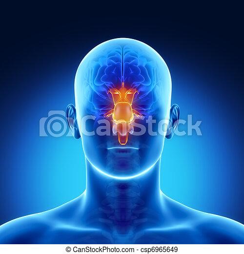 STEM in male  brain part anatomy - csp6965649