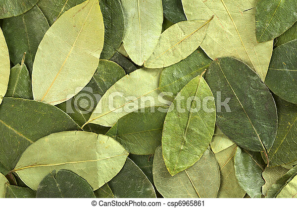 Dried coca (lat. Erythroxylum coca) leaves as background. In Peru coca leaves are drunk as tea and they are traditionally chewed in the mountains to help against altitude sickness - csp6965861