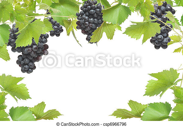 Fresh grapevine frame with black grapes, isolated on white background  - csp6966796