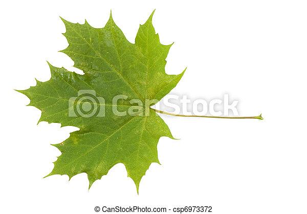 葉, 上に, 隔離された, 秋, 背景, 白 - csp6973372