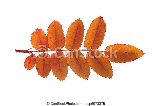 葉, 上に, 隔離された, 秋, 背景, 白 - csp6973375