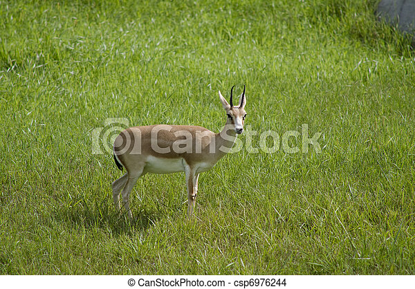 Goitered Gazelle in Habitat - csp6976244
