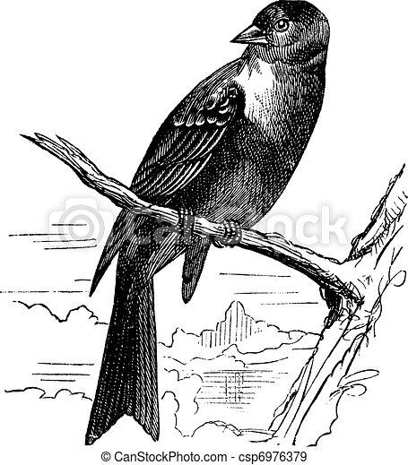 Ortolan bird, Emberiza hortulana or Ortolan Bunting, vintage engraving - csp6976379