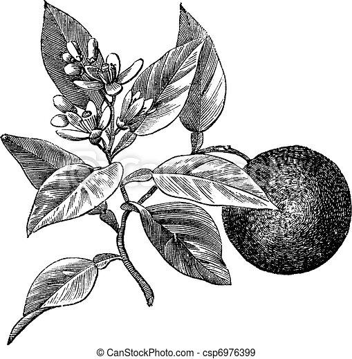 Sweet orange or Citrus aurantium, isolated on white, vintage engraving - csp6976399