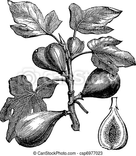 Common Fig or Ficus carica, vintage engraving - csp6977023