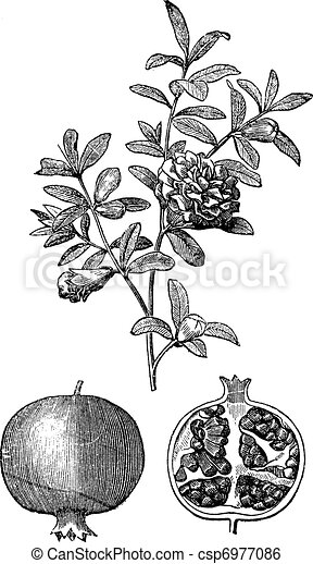 Pomegranate double flowers and fruit vintage engraving - csp6977086