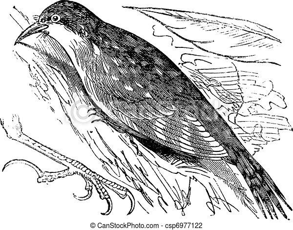 Eurasian treecreeper or Common treecreeper (Certhia familiaris) vintage engraving - csp6977122