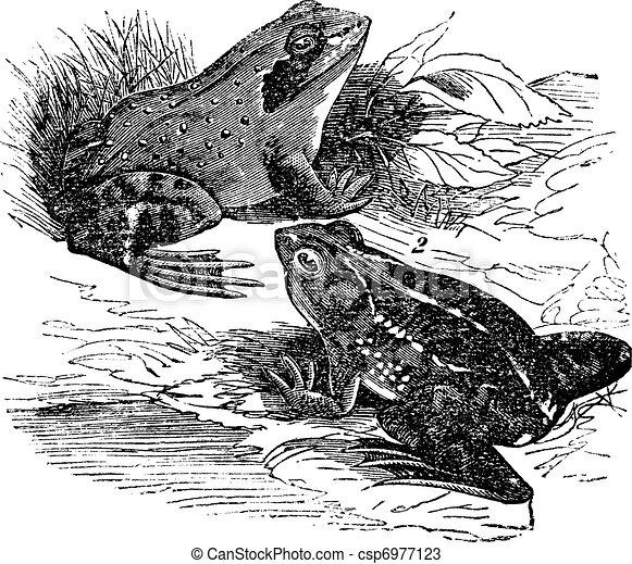 1. Wood frog (Rana sylvatica) 2.  Spring frog (Rana fontinalis) vintage engraving - csp6977123