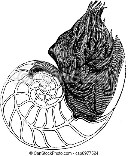 Chambered Nautilus Drawing Chambered Nautilus or Nautilus