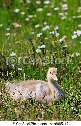 Youngster of white-fronted goose  - csp6985417