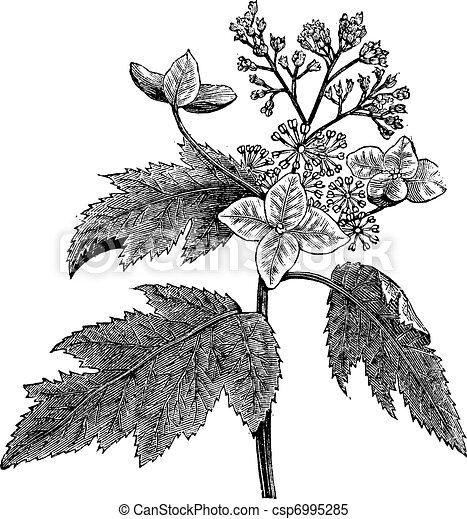 Oakleaf hydrangea or Hydrangea quercifolia vintage engraving - csp6995285