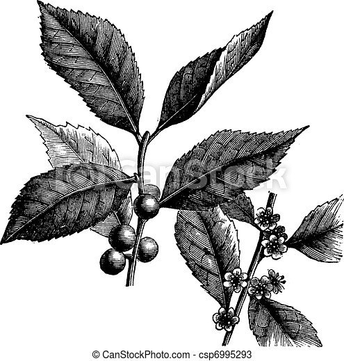 Holly Bush Drawings Canada Holly or Coralberry