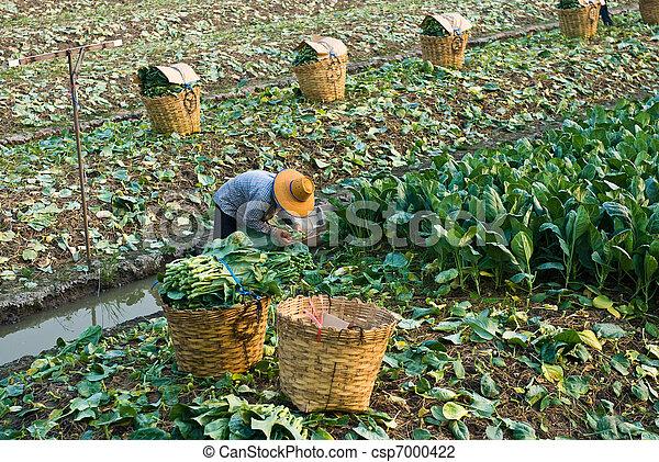 Chinese kale vegetable - csp7000422