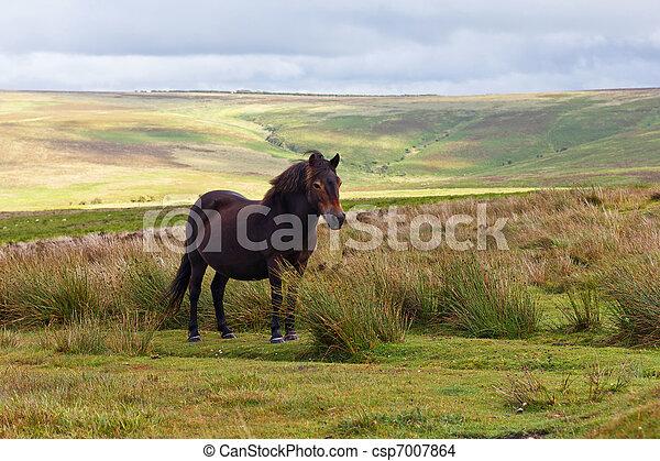 Exmoor Pony - csp7007864