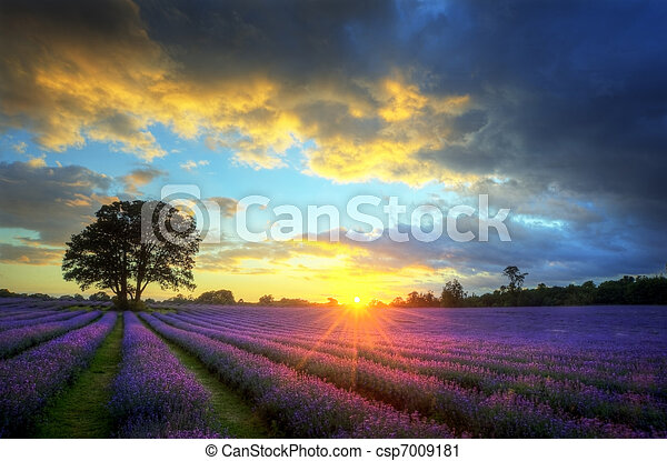 Beautiful image of stunning sunset with atmospheric clouds and sky over vibrant ripe lavender fields in English countryside landscape - csp7009181