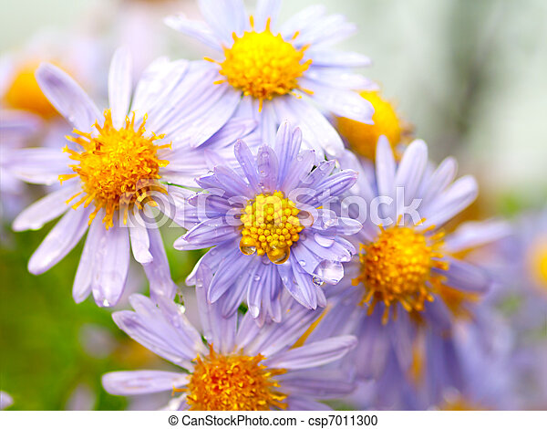 Magenta asters. Shallow Depth Of Field.  - csp7011300