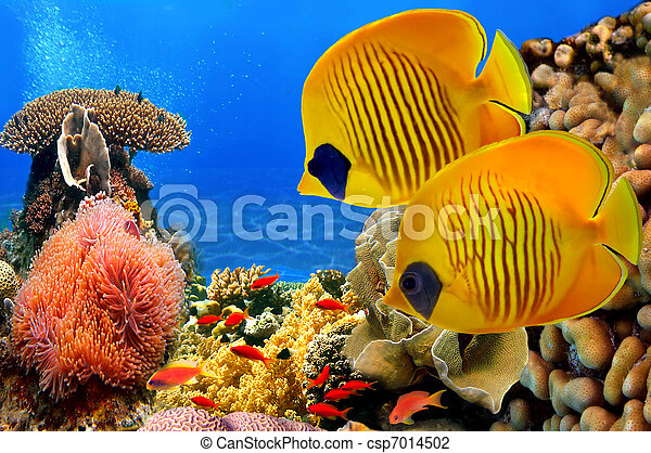 Masked butterfly fish (Chaetodon semilarvatus) and coral reef - csp7014502