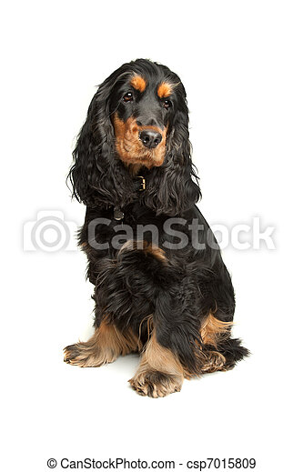 Black and Tan English Cocker Spaniel - csp7015809