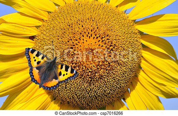 European Peacock on sunflower - csp7016266