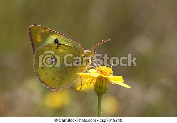 brimstone butterfly - csp7019240