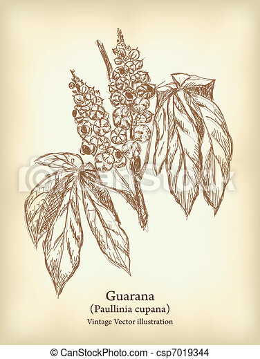 Guarana branch with fruit and leaves. - csp7019344