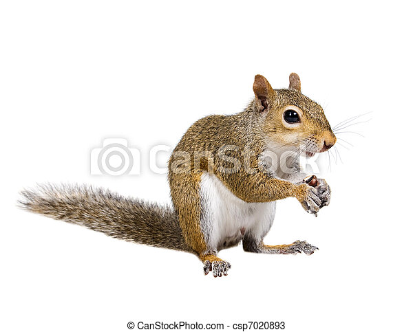 Young squirrel with shells from sunflower seeds - csp7020893