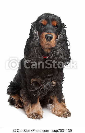 black and tan English cocker spaniel - csp7031139