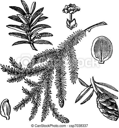 Canadian Hemlock or Tsuga canadensis vintage engraving - csp7038337