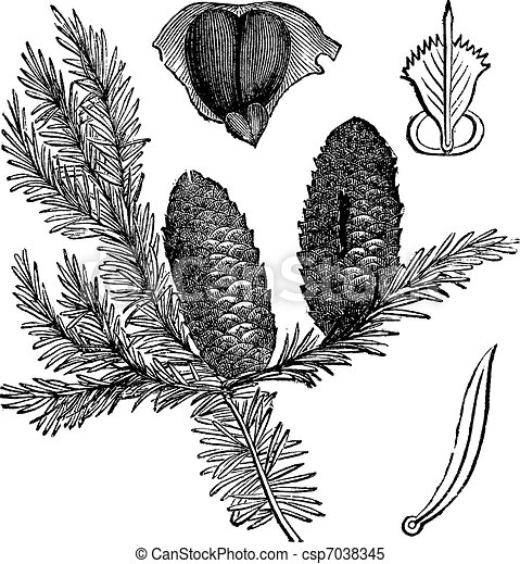 Balsam fir or Abies balsamea vintage engraving - csp7038345