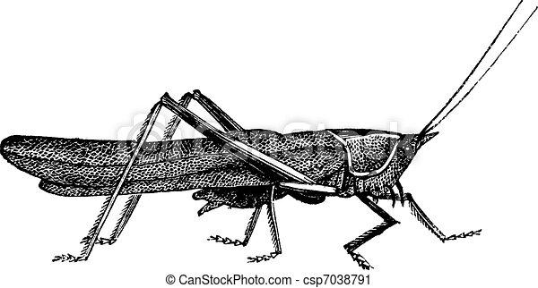 Meadow grasshopper or Chorthippus parallelus vintage engraving - csp7038791